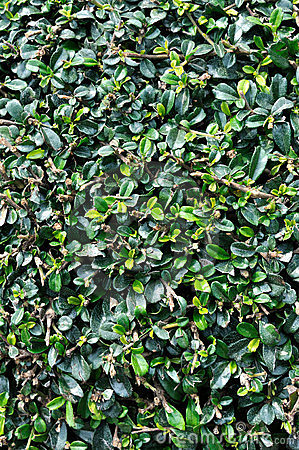 Magnolia plant leaves as background