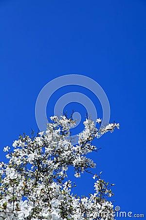 Magnolia spring blossom