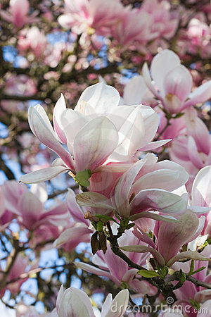 Magnolia-tree