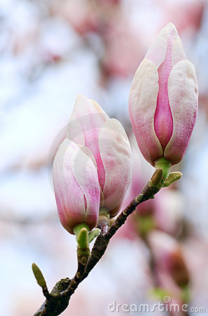 Magnolia-tree flower buds
