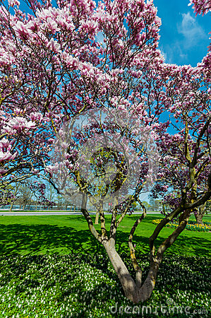 Free Magnolia Trees In May, Niagara Falls Stock Photography - 93637232