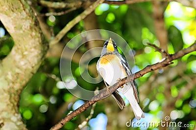Magnolia Warbler Bird