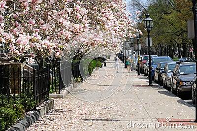 Magnolias on the sidewalk