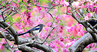 Magpie on branch