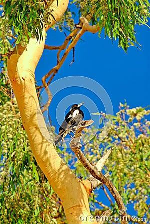 Free Magpie In Gum Tree 2 Stock Photos - 1727813