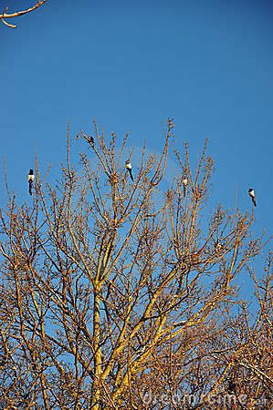 Magpies on a tree