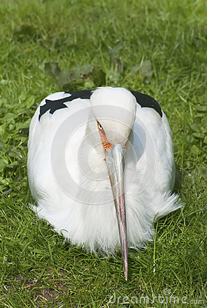 Maguari Stork Stock Photo
