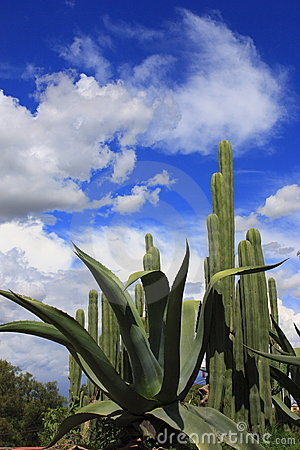 Free Maguey And Cactus Royalty Free Stock Photography - 10335707