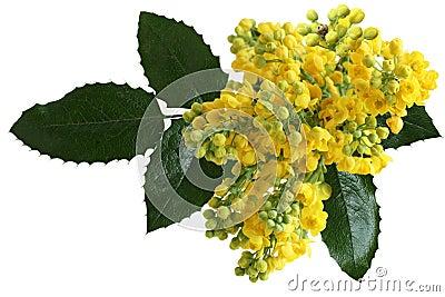 Mahonia aquifolium Flowers