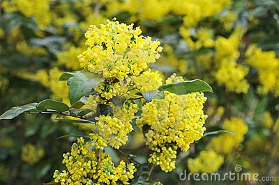 Mahonia blossom