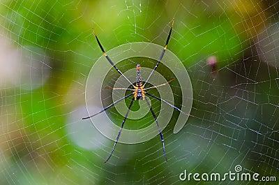 Mai Thong spider