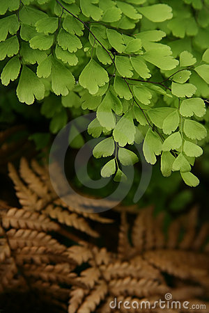 Free Maidenhair Fern Royalty Free Stock Images - 516609