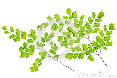maidenhair fern leaves is isolated on white Stock Photo