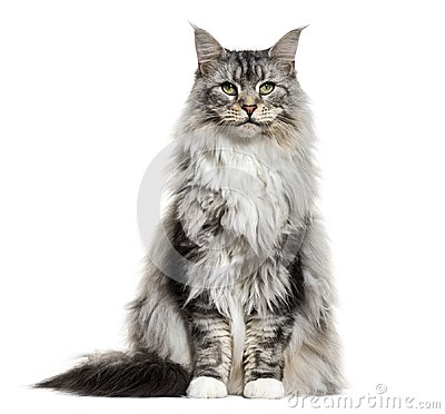Free Main Coon Cat, Sitting, Isolated Stock Photos - 105773213