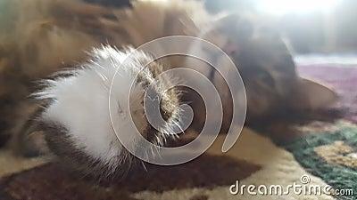 Main Coon Feline Stock Photo