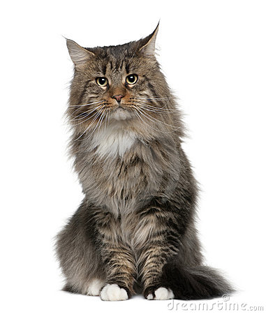 Maine coon, 2 years old