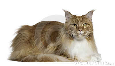 Maine Coon, 2 years old, lying