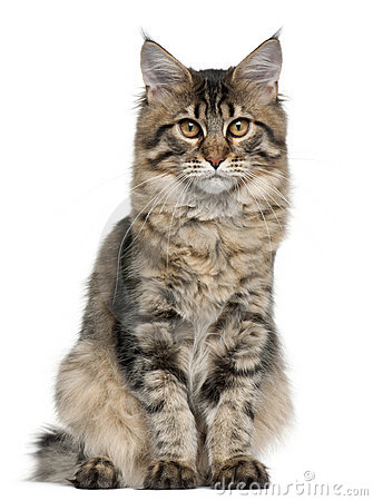 Free Maine Coon Cat, 5 Months Old, Sitting Royalty Free Stock Photos - 17597988