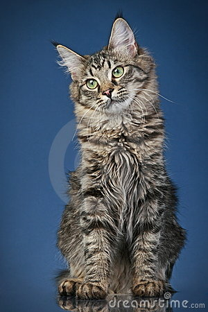 Maine coon cat (6 months)
