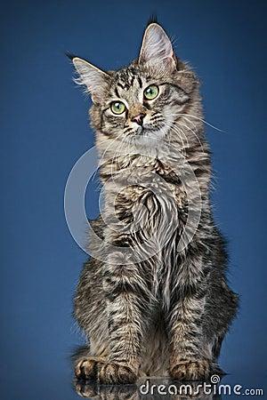 Maine coon cat (6 months)