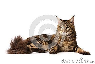 Maine-coon cat