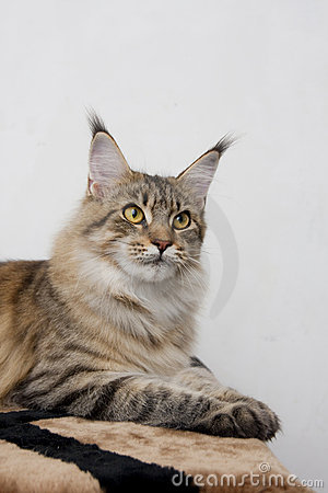 Maine coon cat breed wild color