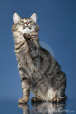 Maine coon cat pulls paw up