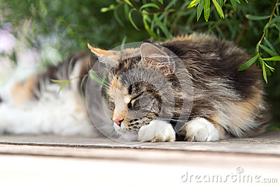 Maine coon cat sleep