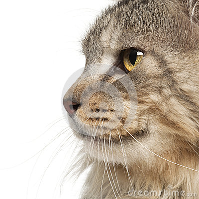 Maine Coon close up