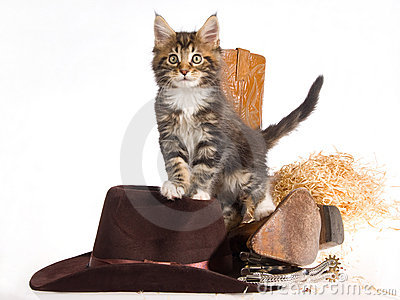 Maine Coon with cowboy gear