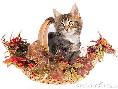 Maine Coon in Fall Autumn basket