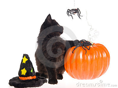 Maine Coon with Halloween props