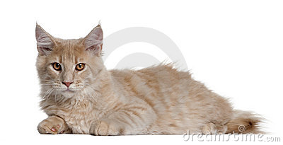 Maine coon kitten, 4 months old