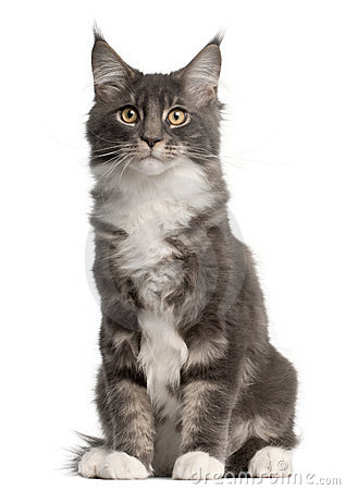 Maine Coon Kitten, 5 months old, sitting