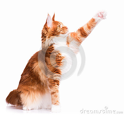 Free Maine Coon Kitten Stock Photography - 78018462