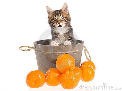 Maine Coon kitten  in barrel on white background