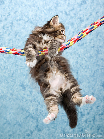 Maine Coon kitten hanging from rope