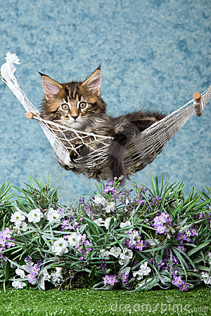 Free Maine Coon Kitten In Hammock With Flowers Royalty Free Stock Photos - 11430598