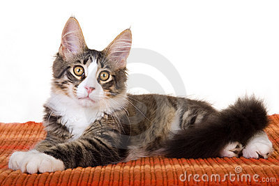 Maine Coon kitten on orange carpet