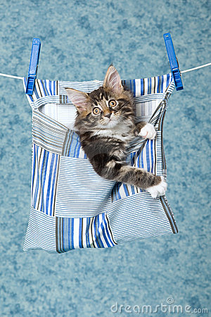 Maine Coon kitten in peg bag on line
