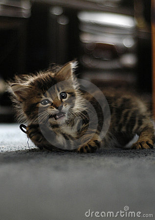 Maine Coon Kitten Playing