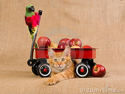 Maine Coon kitten with red wagon and apples
