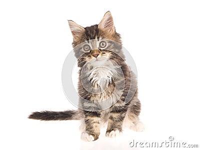 Maine Coon kitten sitting on white background