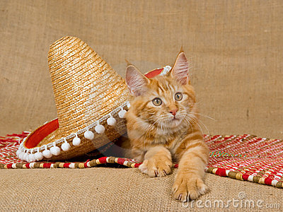 Maine Coon kitten with sombrero hat