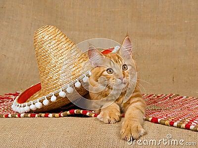Maine Coon kitten with sombrero hat