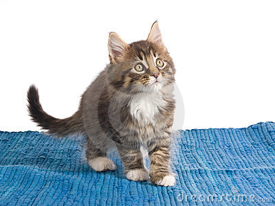 Maine Coon kittens on blue rug
