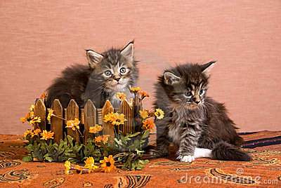 Maine Coon kittens with box and daisy flowers