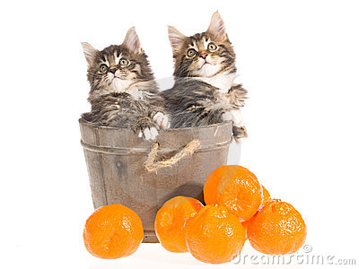 Maine Coon kittens in vat with fruit