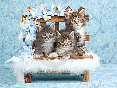 Maine Coon kittens on wooden bench
