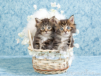 Maine Coon kittens in woven crib